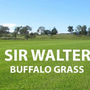 Sir Walter Buffalo Grass
